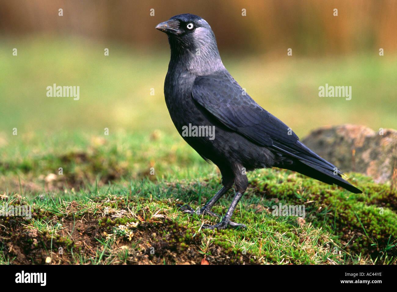 Western der Dohle (Corvus Monedula) auf dem Rasen Stockbild