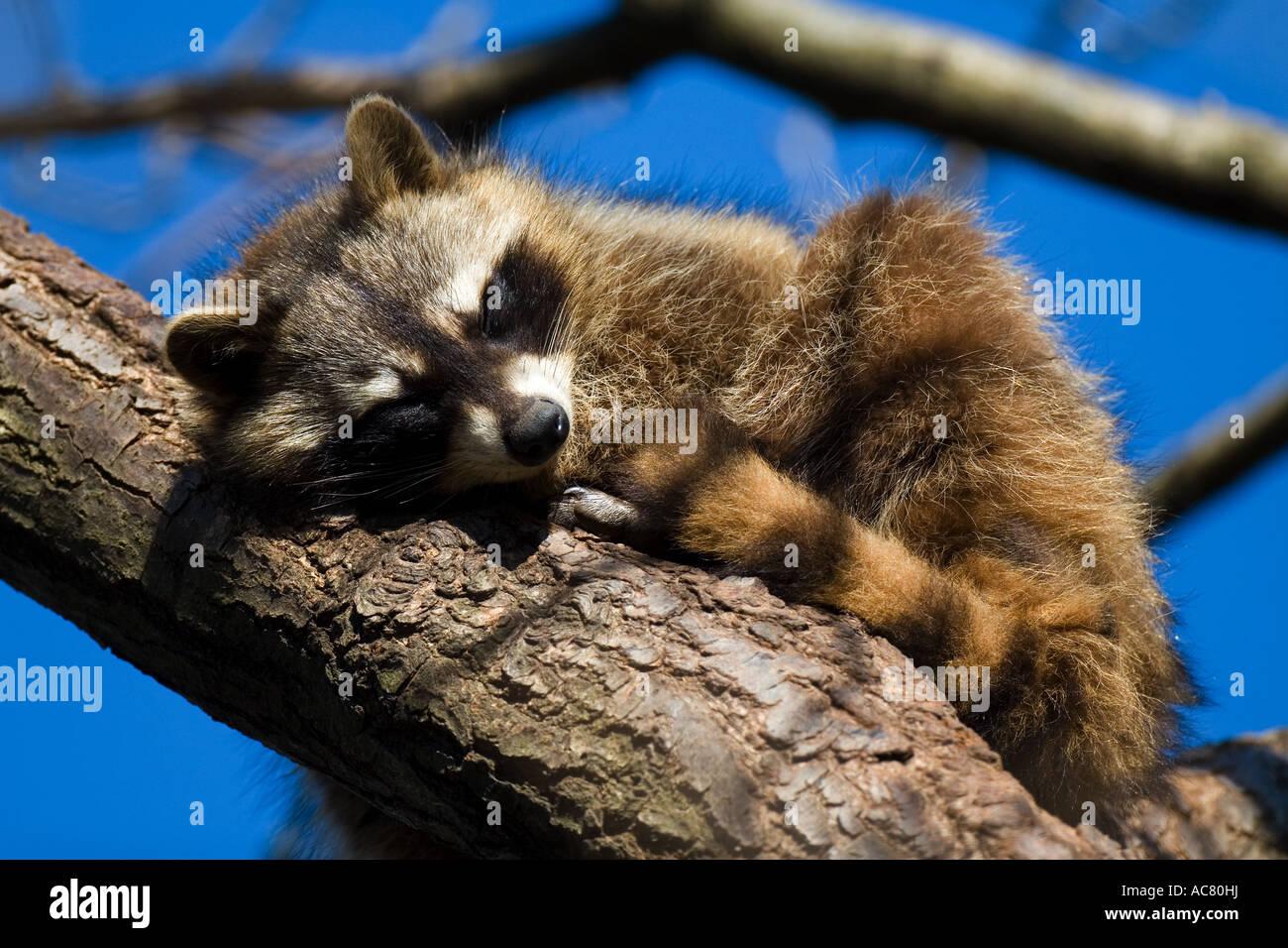 71791fa409b655 Gemeinsame Waschbär (Procyon Lotor) Schlafen auf Zweig Stockfoto ...
