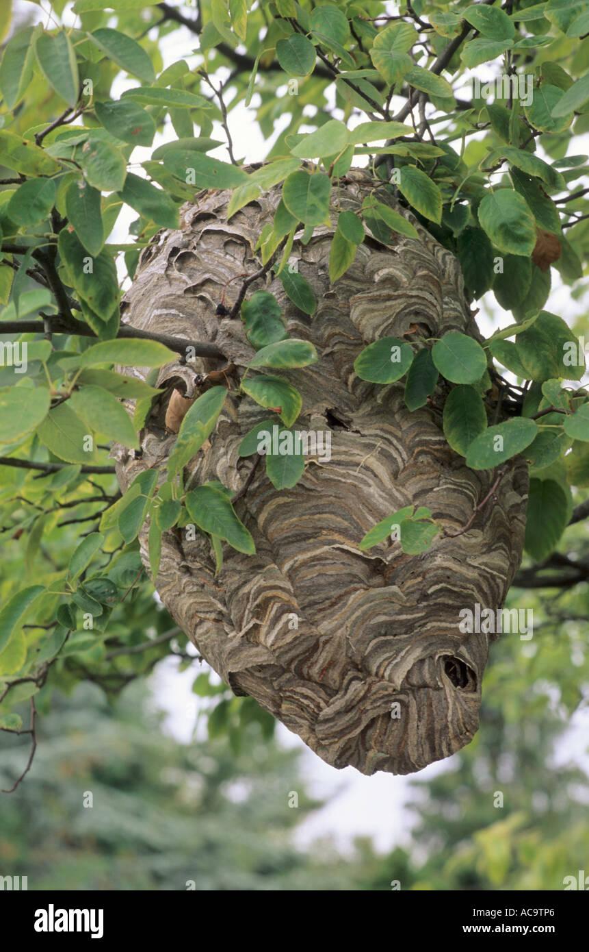 wespennest im baum europ ische wespe wildtiere insekten lebensraum wespen nester stockfoto. Black Bedroom Furniture Sets. Home Design Ideas