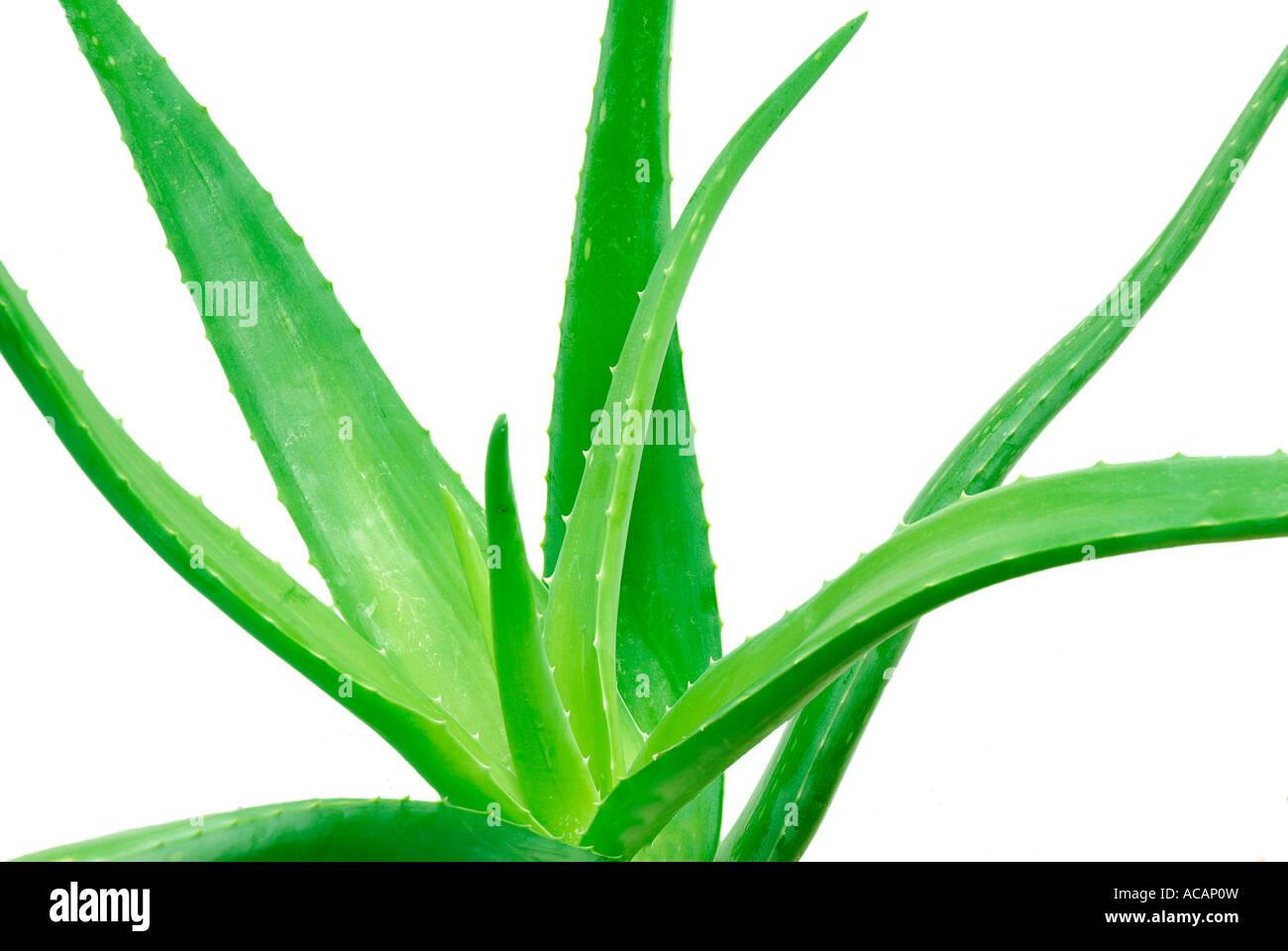 Aloe Vera (Aloe Barbadensis) Stockfoto
