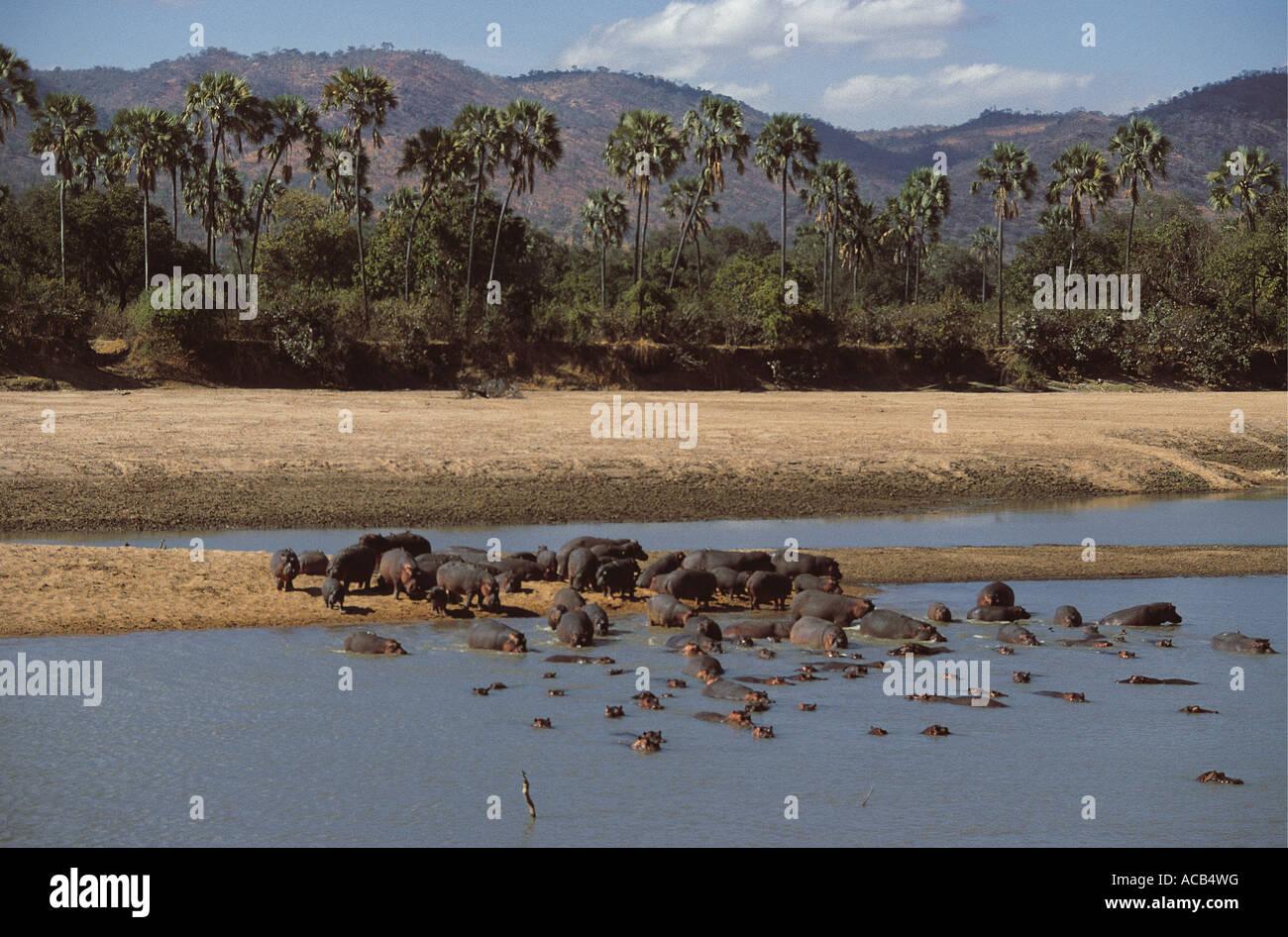 Nilpferd-Herde am Ufer des Flusses mit Palmen und Berge im Hintergrund South Luangwa Nationalpark Sambia Stockbild