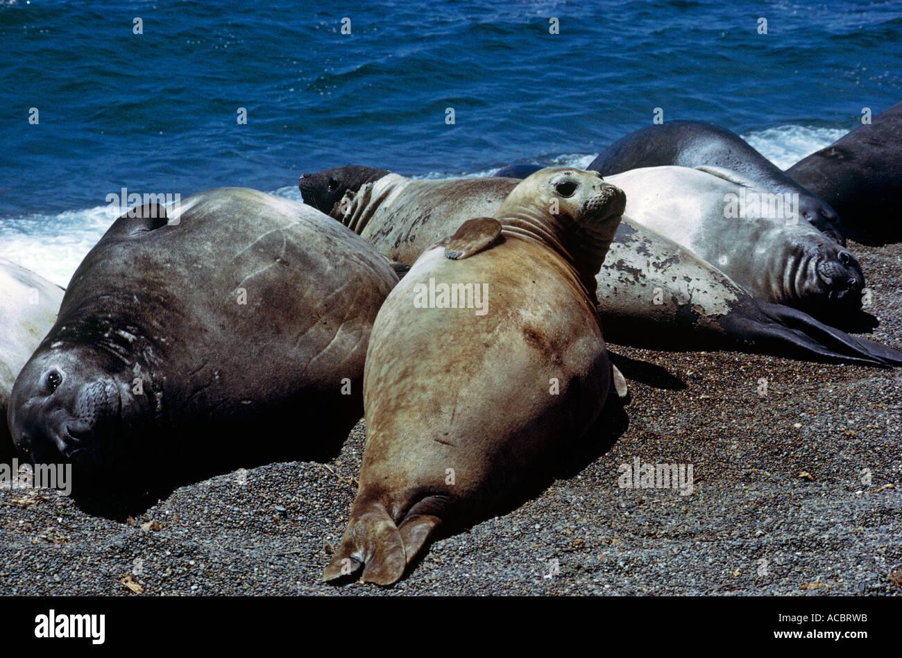 südlichen See-Elefanten Mirounga Leonina Bereich des südlichen Pazifik und Subantarktis Stockbild