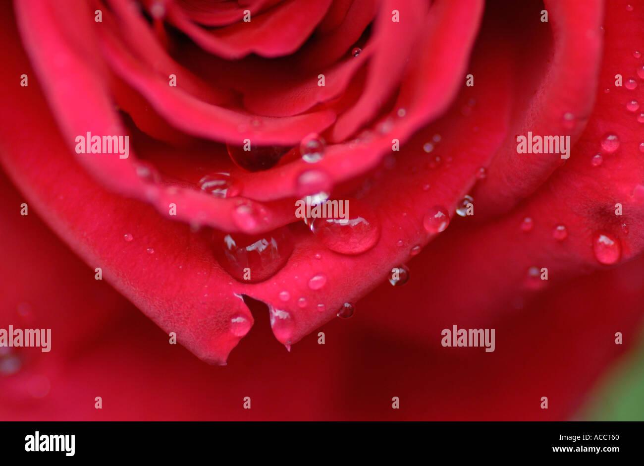 rote rose mit Wassertropfen Stockbild