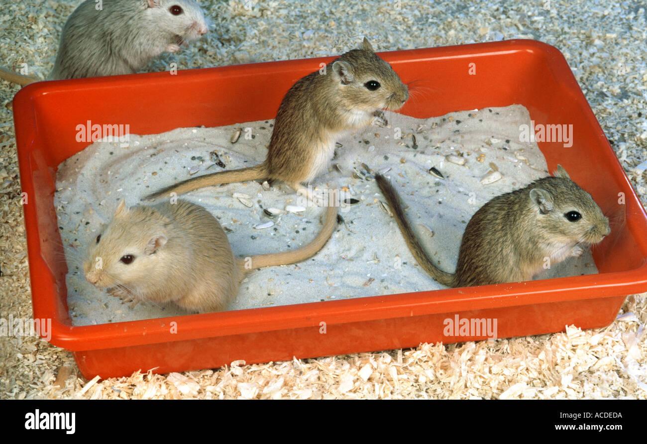 Wüstenrennmaus Mäuse unter einem Sand Bad 4 vier Stockbild