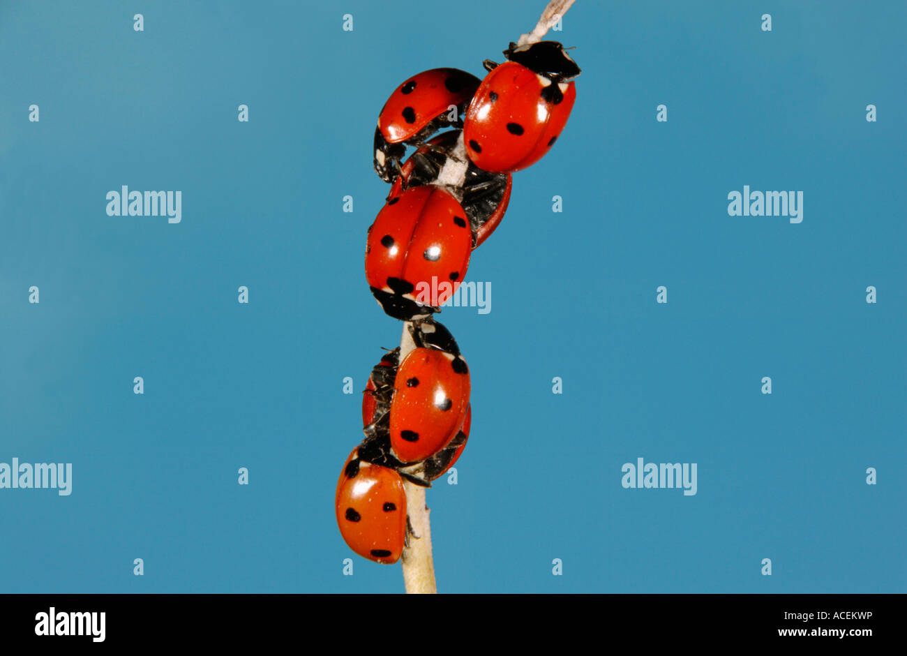 Sevenspotted Lady Beetle Coccinella septempunctata Stockbild