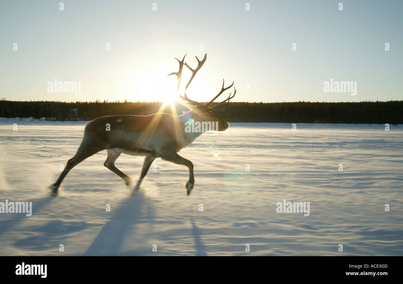 Rentier (Rangifer Tarandus) läuft auf zugefrorenen Fluss Finnland Stockbild
