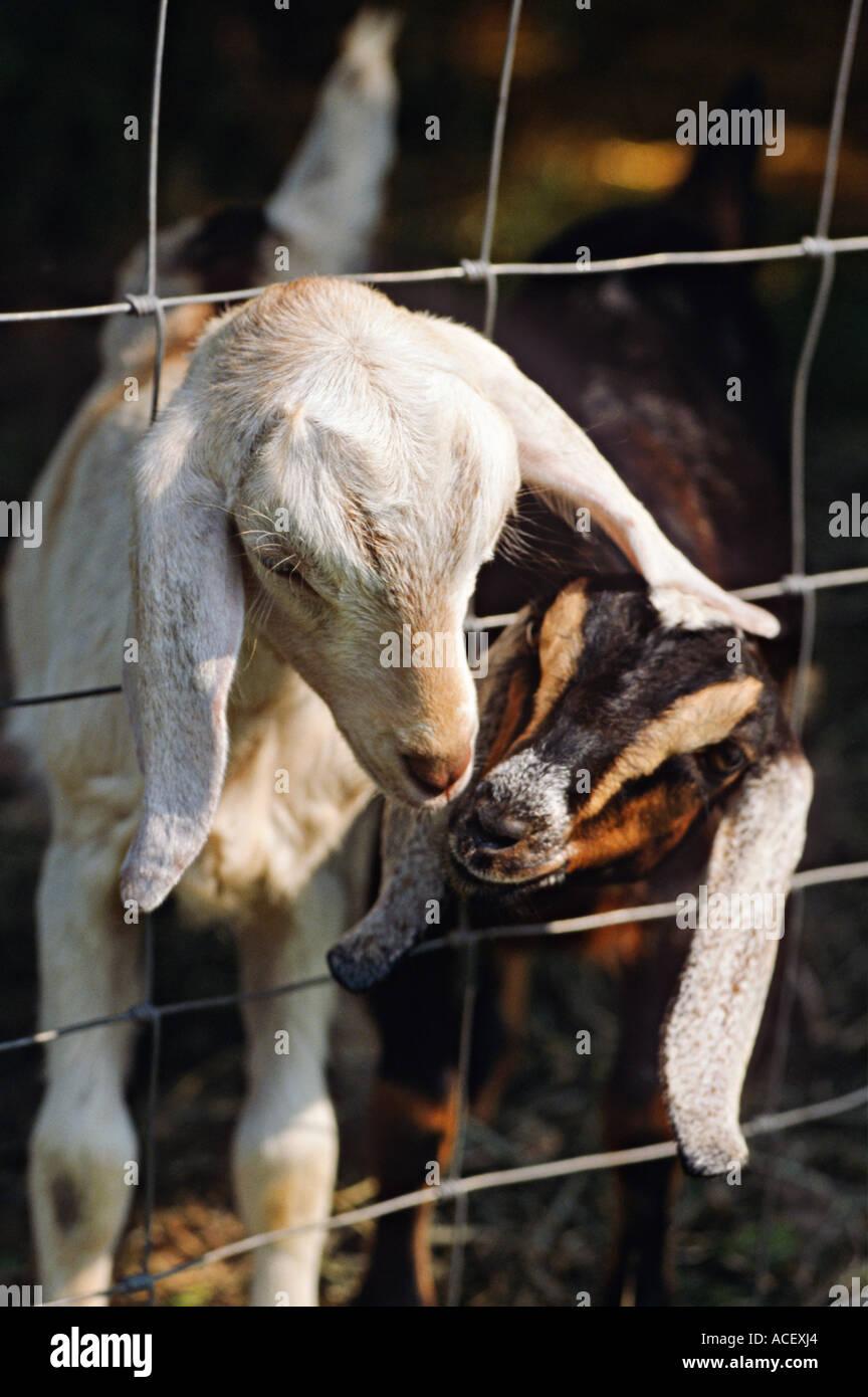 Vieh Richmond Illinois zwei, die nubische Ziegen durch Köpfe Draht ...