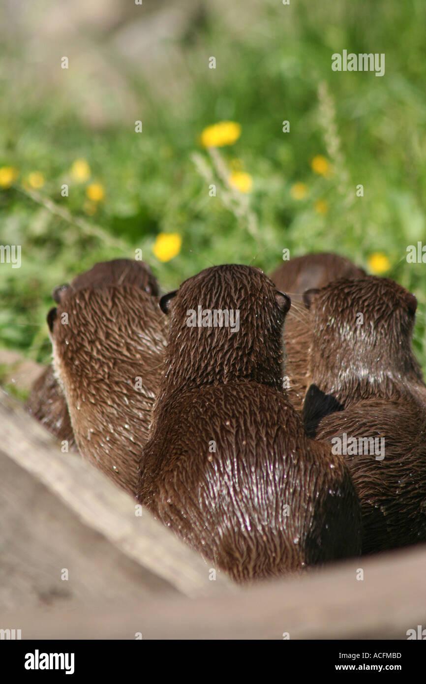 Asiatischen kurze Krallen Otter von hinten Stockfoto, Bild: 4290748 ...