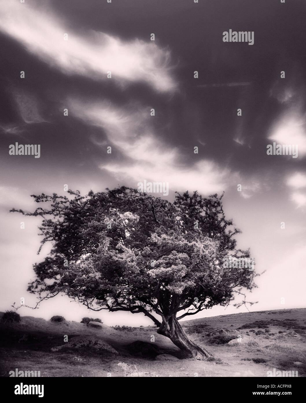 Sepia Foto von einem windigen Baum im Moor Stockbild