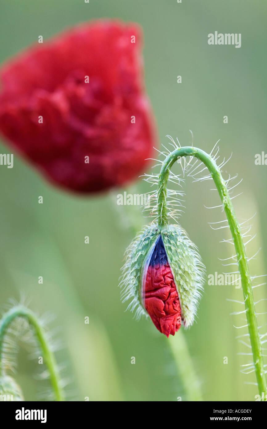 Papaver Rhoeas. Feld Mohn aus seinem Gehäuse in der englischen Landschaft. UK Stockbild