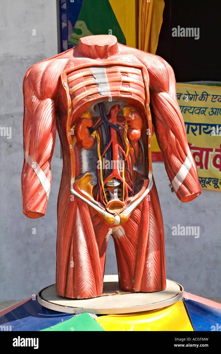 Ein Modell der seziert männlichen menschlichen Körper Organe für ...