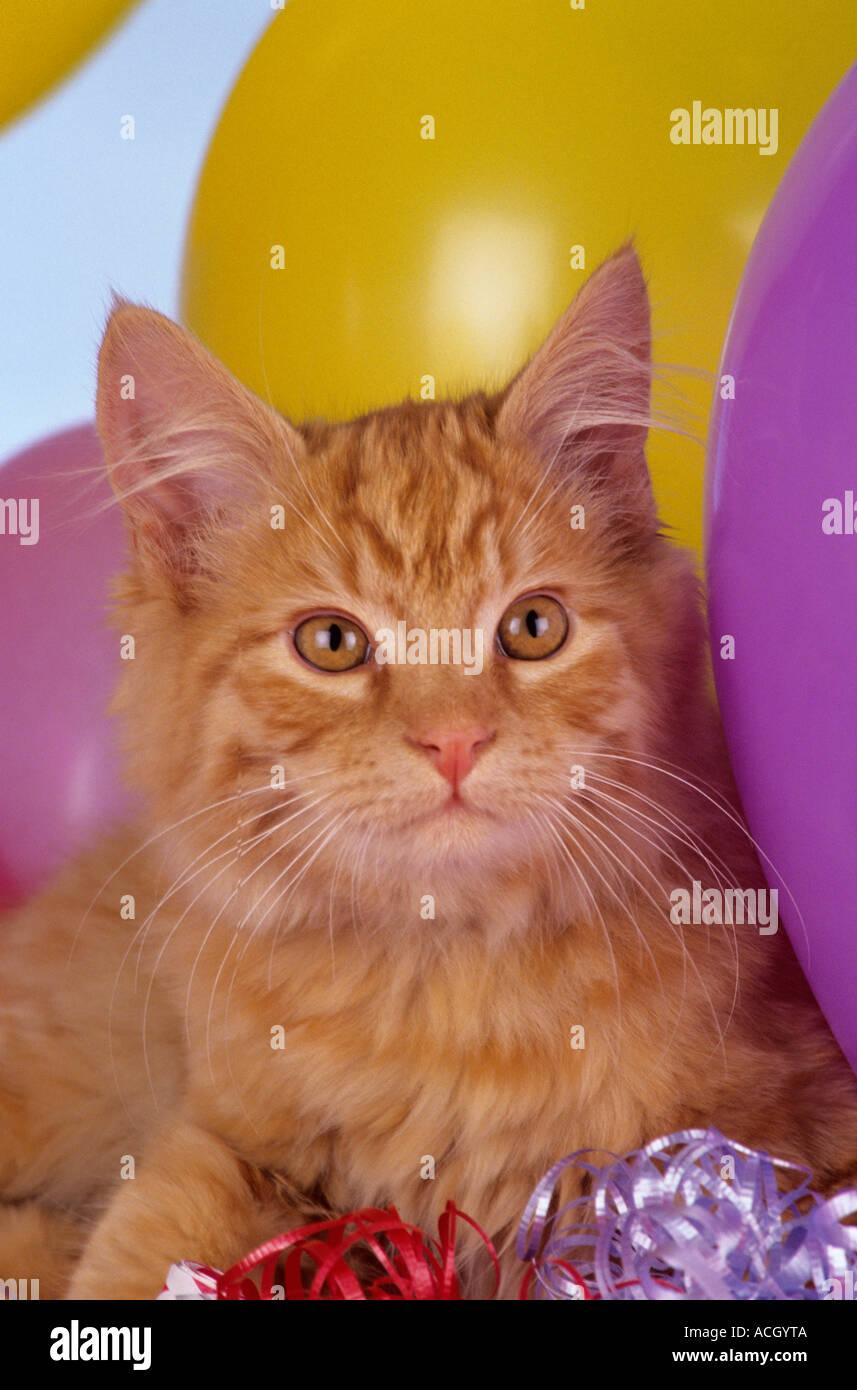 Stock Foto langhaarigen lange Haar Orange inländischen Kitten mit Ballons Bänder Krachmachern Partei Thema Feier Stockfoto