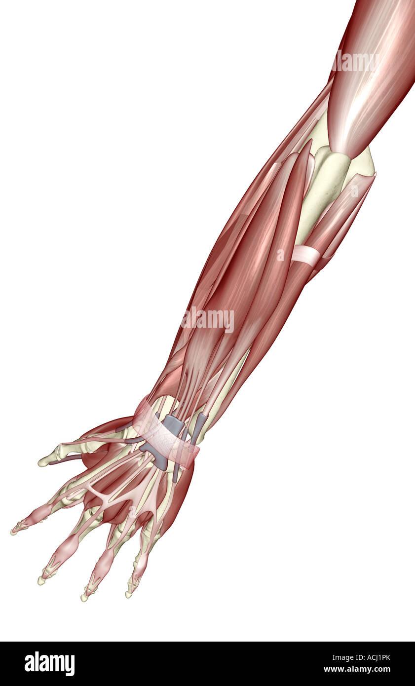 Fantastisch Muskeln Des Unterarms Und Der Hand Fotos - Menschliche ...