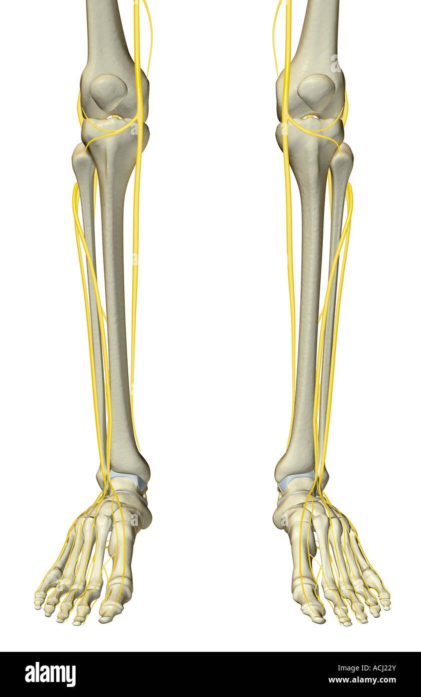 Human Leg Nerves Stockfotos & Human Leg Nerves Bilder - Alamy