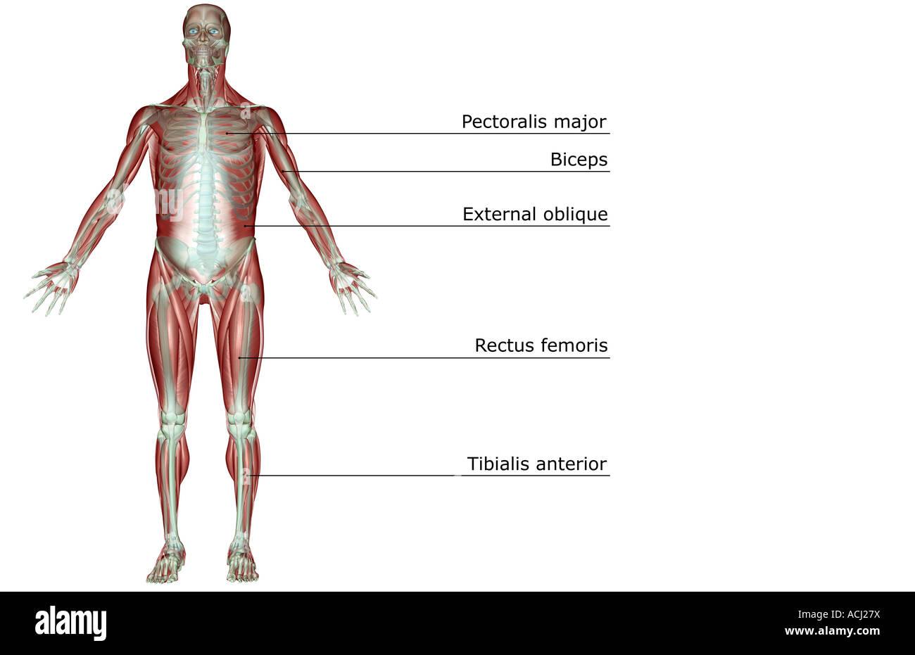 Das Muskel-Skelett-system Stockfoto, Bild: 13165693 - Alamy
