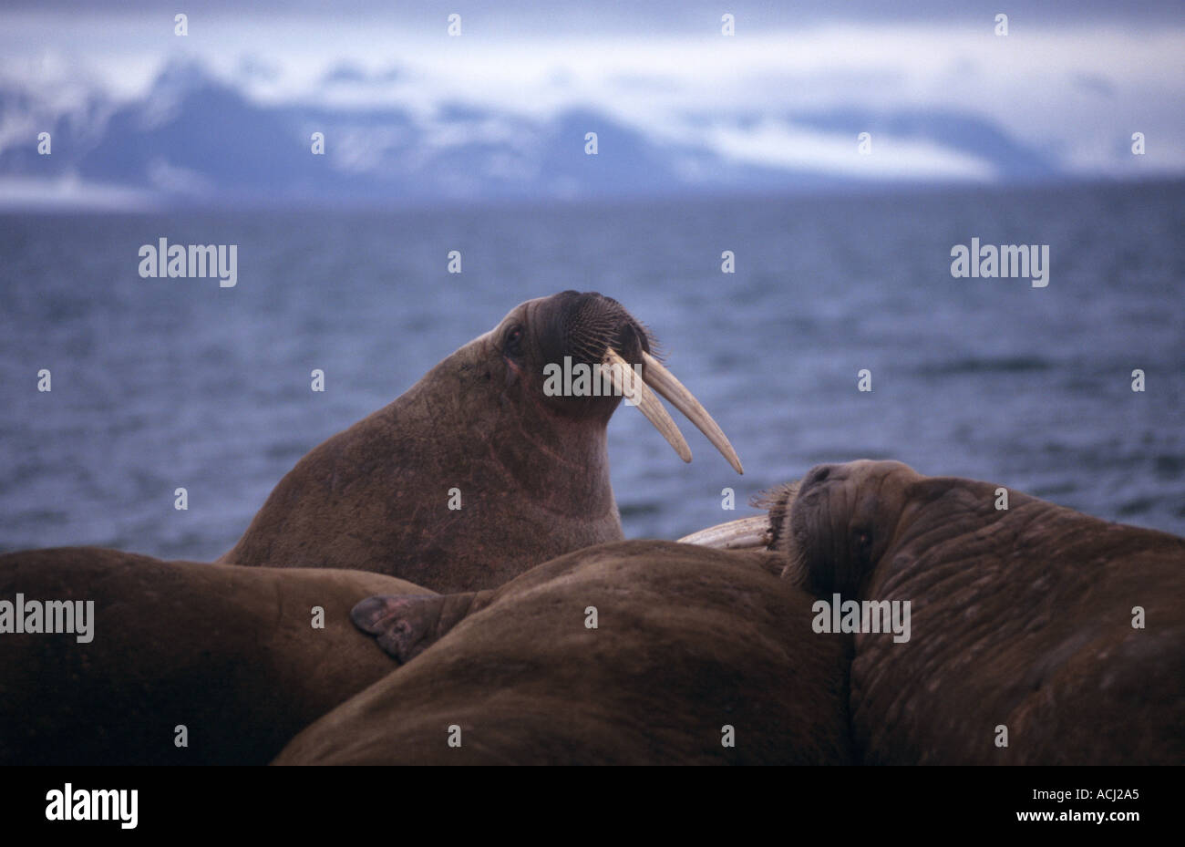 Walross am Strand von Svalbard Stockfoto