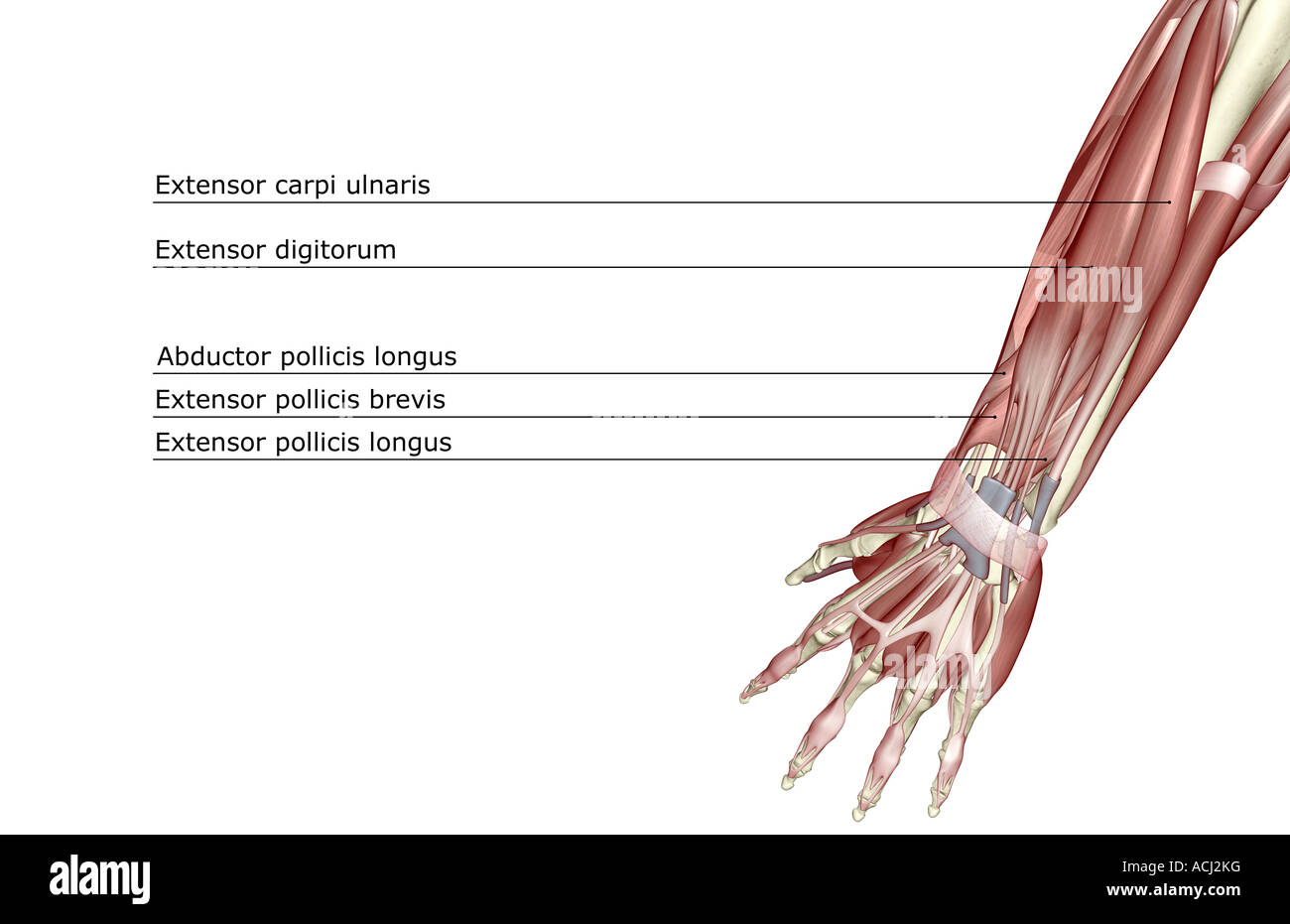 Tendon Arm Stockfotos & Tendon Arm Bilder - Seite 3 - Alamy