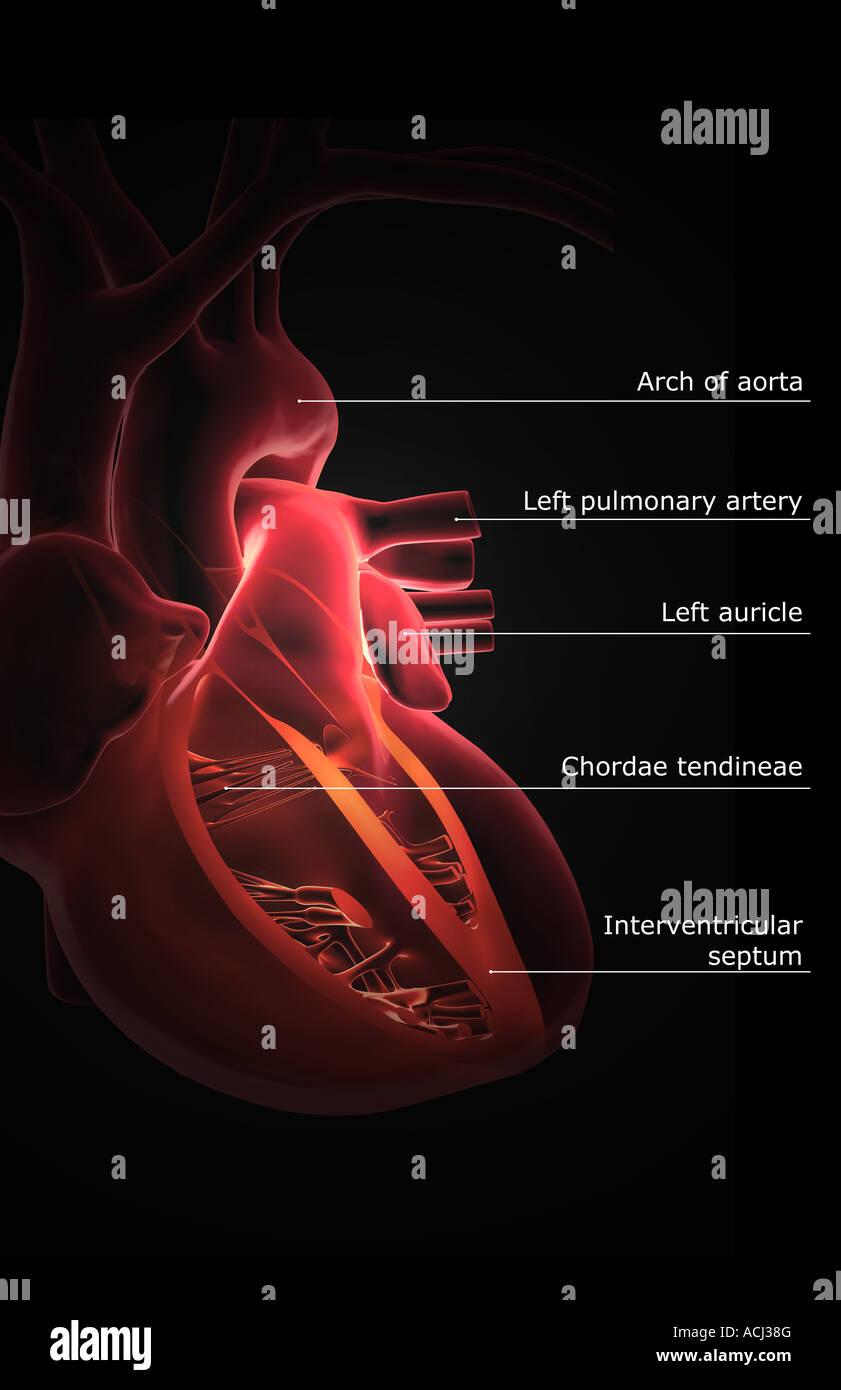 Schön Form Des Herzens Anatomie Fotos - Menschliche Anatomie Bilder ...