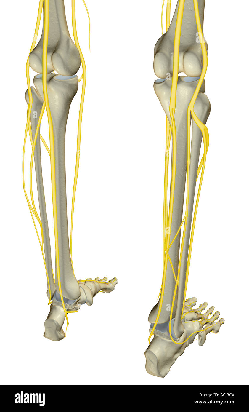 Die Nerven des Beines Stockfoto, Bild: 13166089 - Alamy