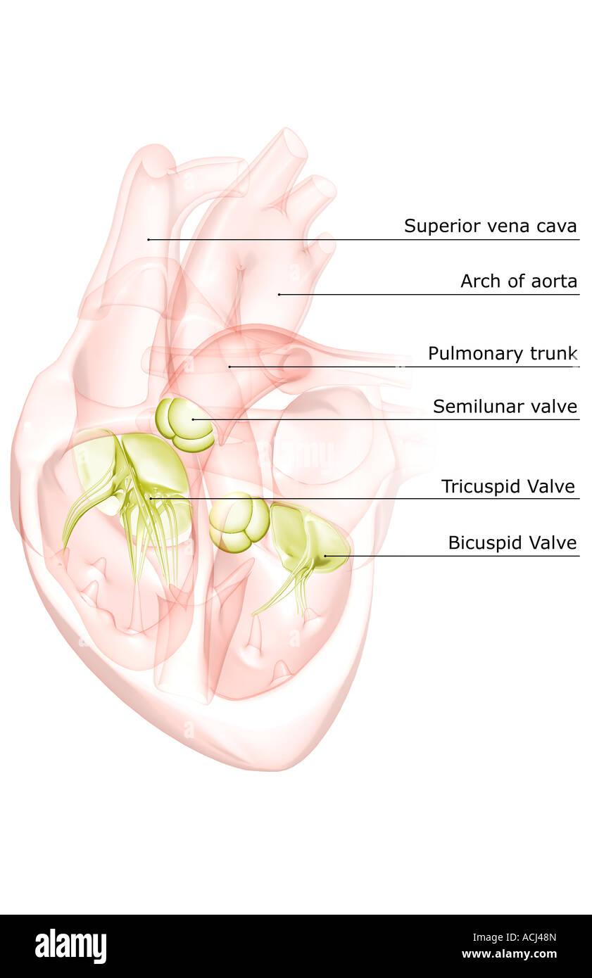 Sektionaltore Anatomie des Herzens Stockfoto, Bild: 13166372 - Alamy