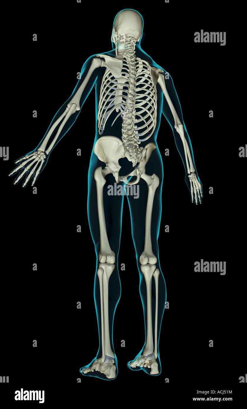 Berühmt Anatomie Und Physiologie Des Skelettsystems Ideen ...