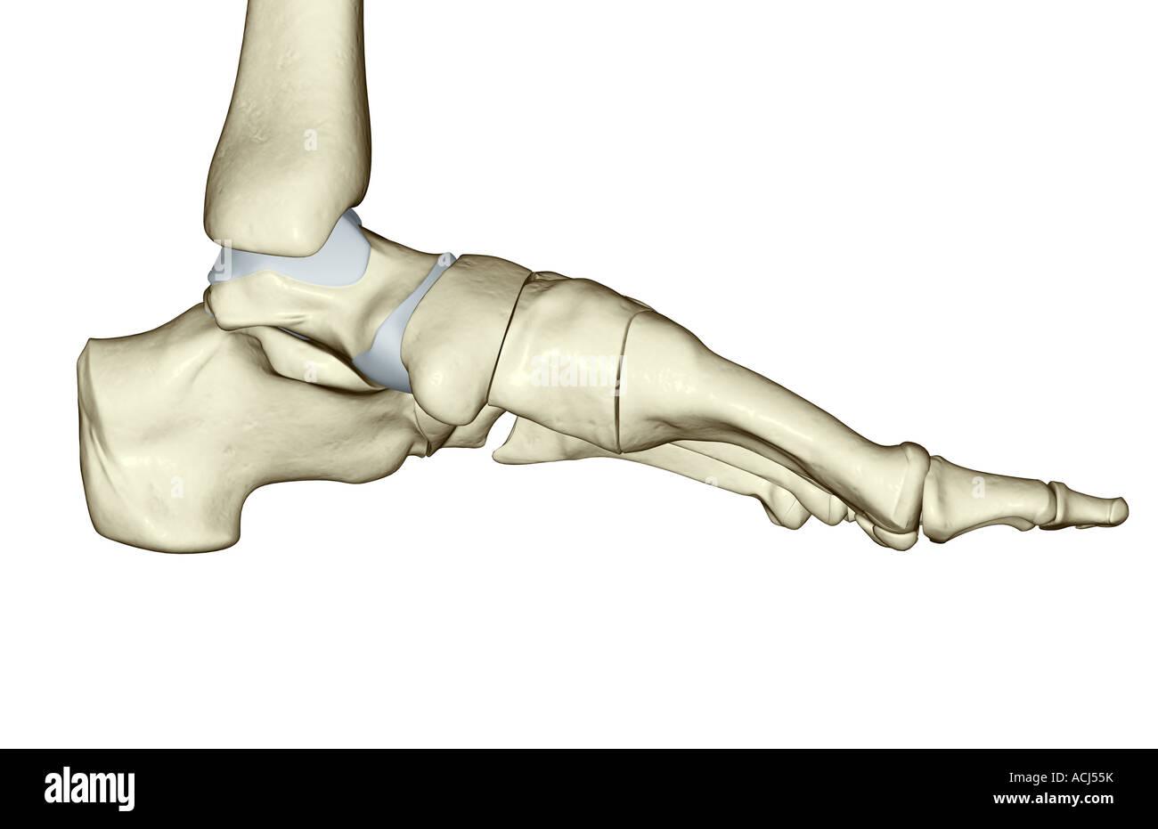 Die Knochen des Fußes Stockfoto, Bild: 13166670 - Alamy