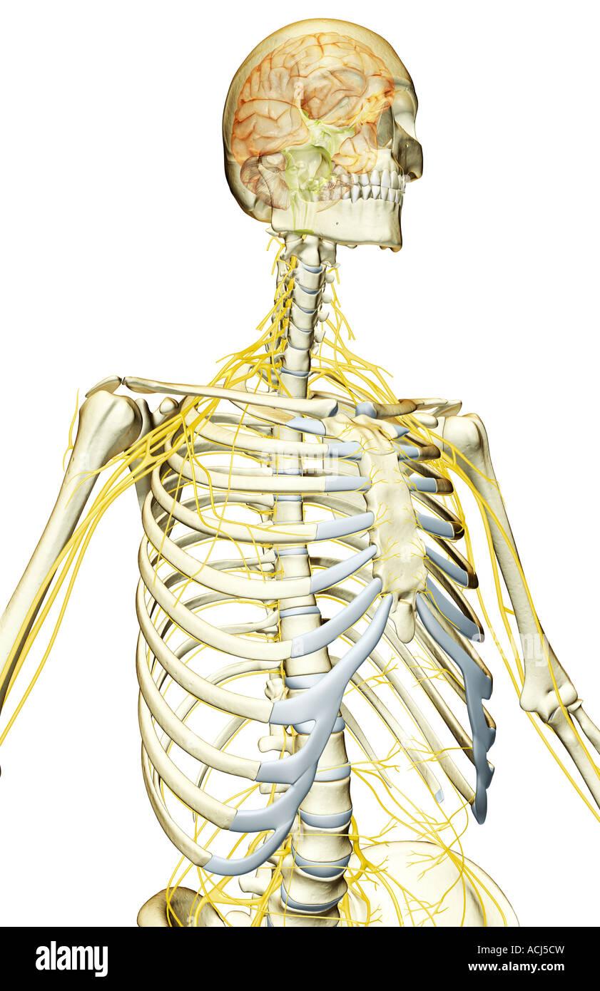 Die Nerven-Versorgung des Oberkörpers Stockfoto, Bild: 13166760 - Alamy