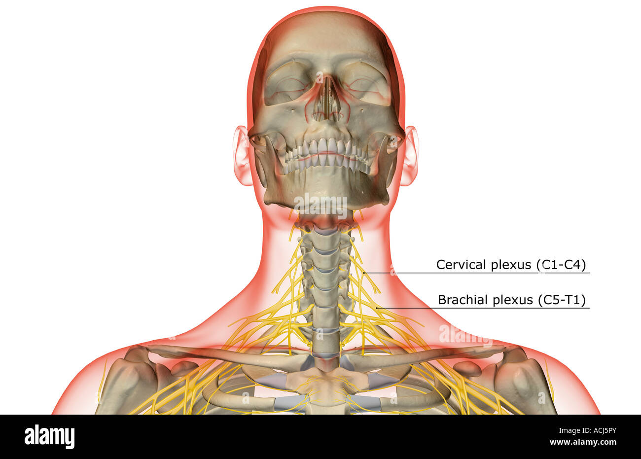 Tolle Anatomie Des Halses Nerven Bilder - Menschliche Anatomie ...