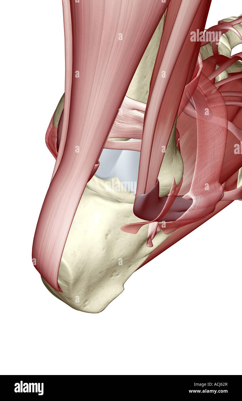 Die Muskeln des Fußes Stockfoto, Bild: 13166974 - Alamy