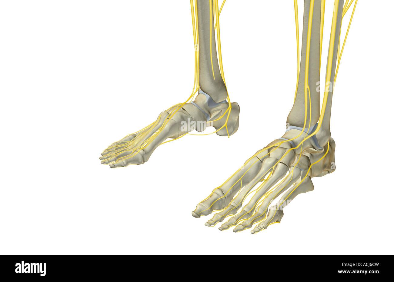 Schön Hand Anatomie Nerven Bilder - Anatomie Von Menschlichen ...