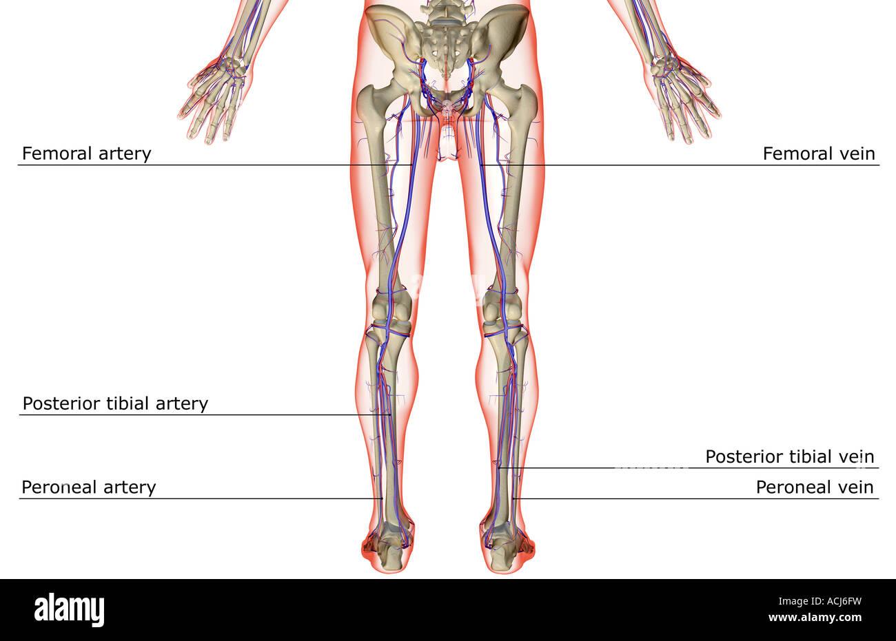 Posterior Tibial Artery Stockfotos Posterior Tibial Artery Bilder
