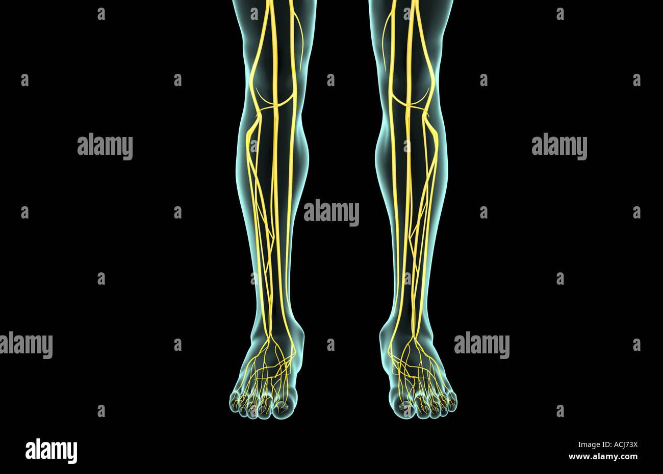 Fein Nerven Anatomie Des Beines Fotos - Menschliche Anatomie Bilder ...
