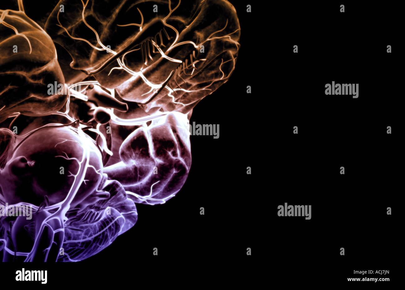 Circulus arteriosus cerebri Stockfoto, Bild: 13167500 - Alamy
