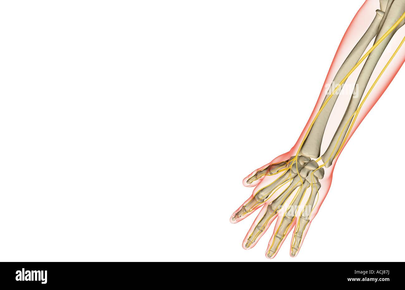 Gemütlich Nerven Des Armes Und Der Hand Fotos - Menschliche Anatomie ...