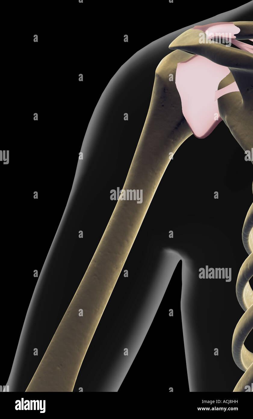 Die Bänder der Schulter Stockfoto, Bild: 13167820 - Alamy