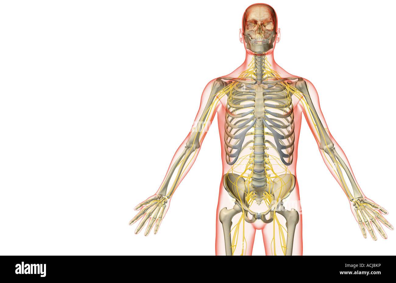 Die Nerven-Versorgung des Oberkörpers Stockfoto, Bild: 13167849 - Alamy