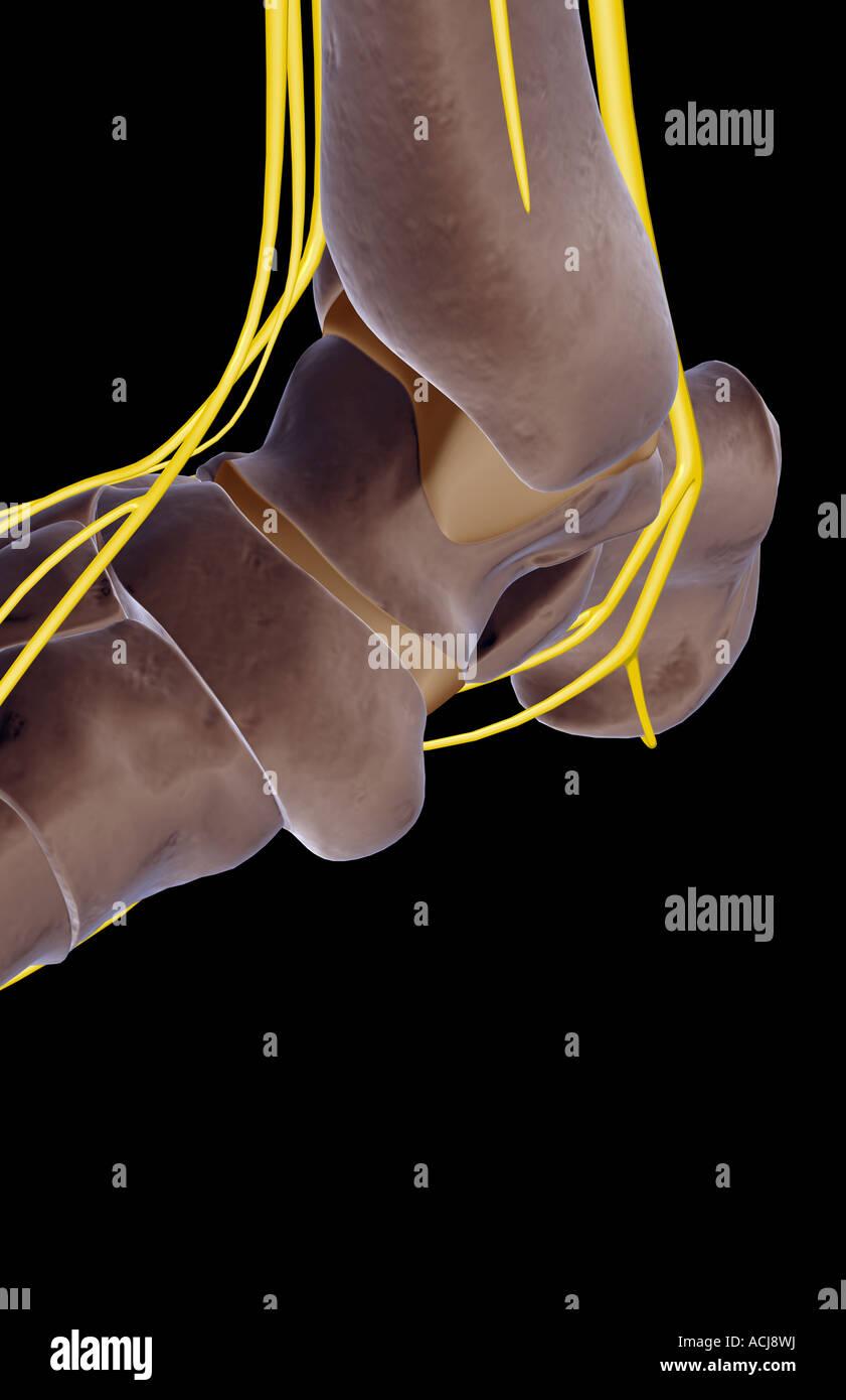Berühmt Oberflächenanatomie Der Unteren Extremität Bilder - Anatomie ...