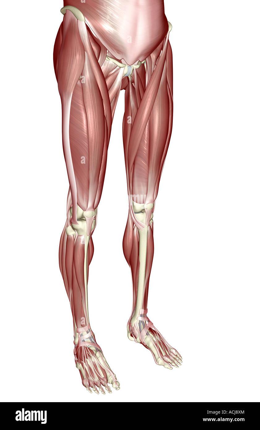 Tolle Muskeln Des Unteren Körpers Fotos - Physiologie Von ...