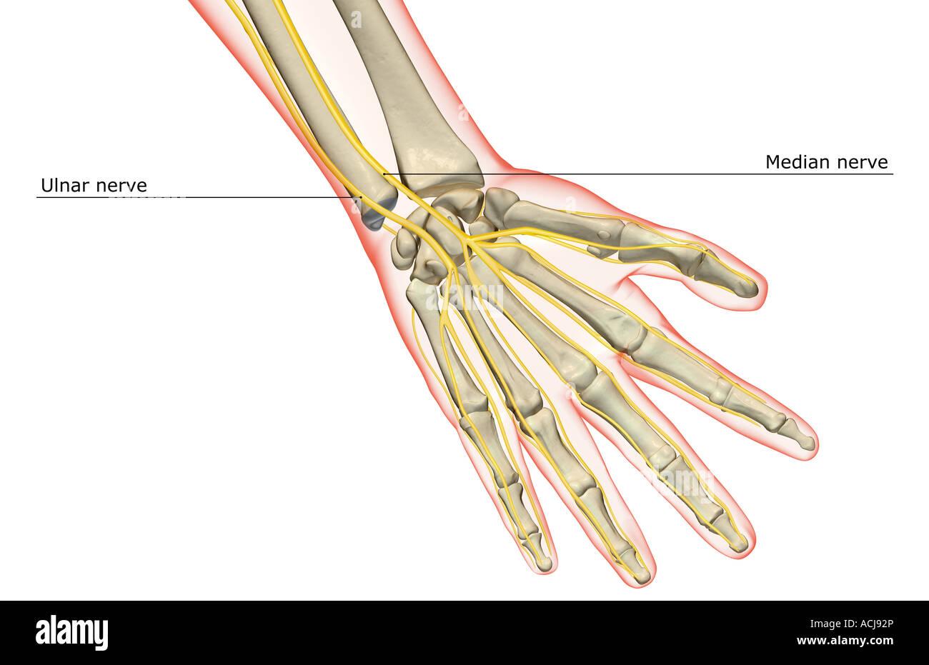 Ausgezeichnet Nerven In Der Hand Ideen - Menschliche Anatomie Bilder ...