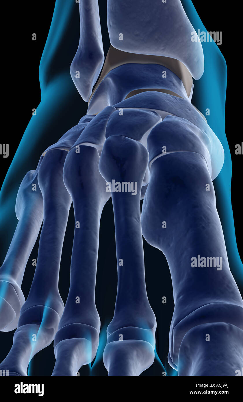 Die Knochen des Fußes Stockfoto, Bild: 13168073 - Alamy