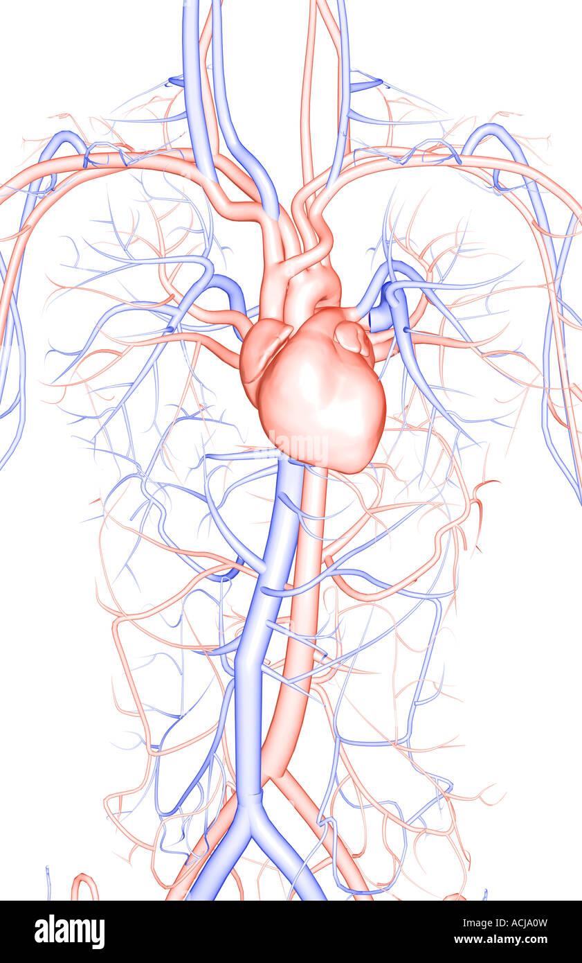 Fantastisch Blutgefäße Anatomie Ideen - Anatomie Ideen - finotti.info
