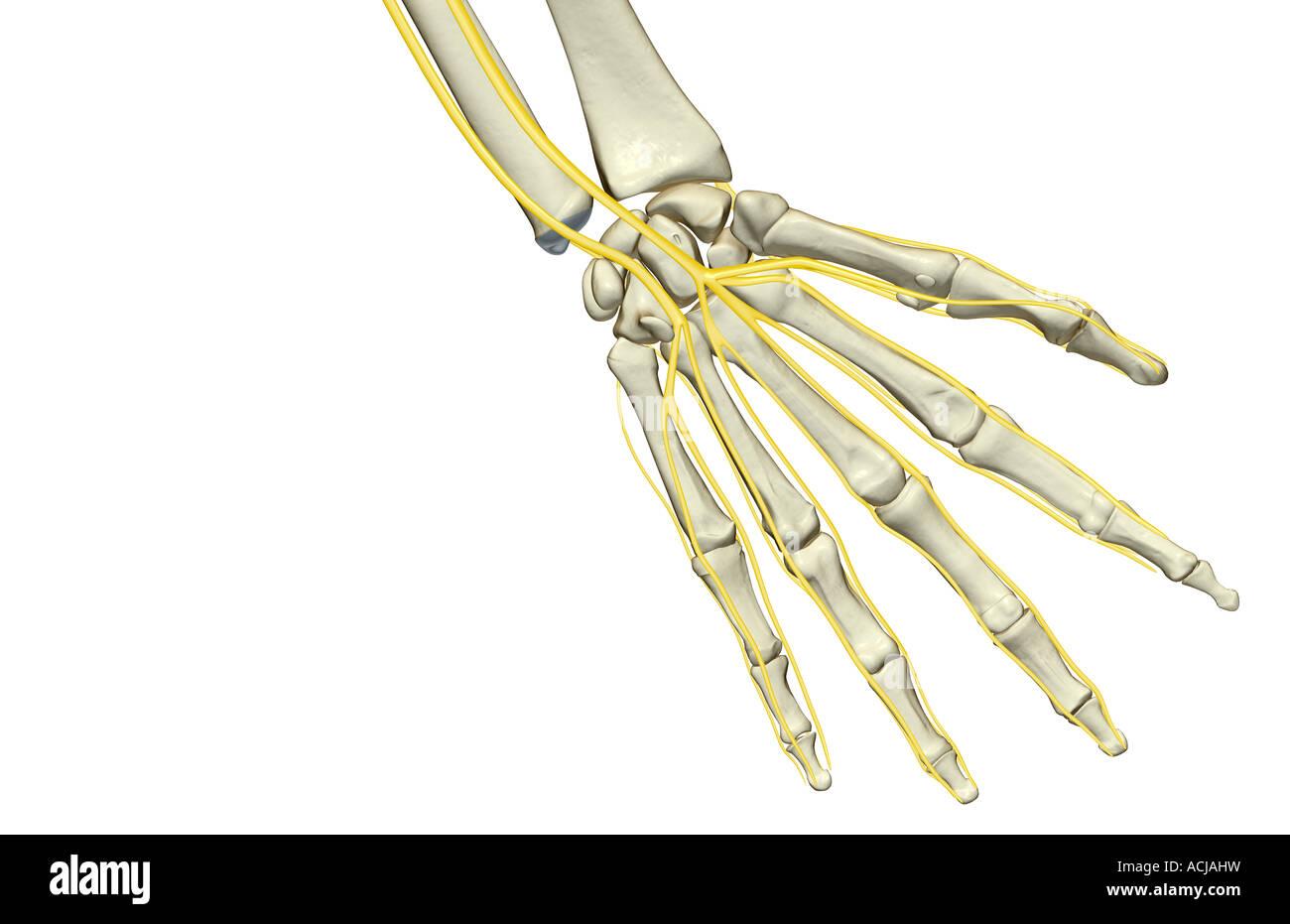 Fantastisch Nerven Der Hand Ideen - Menschliche Anatomie Bilder ...