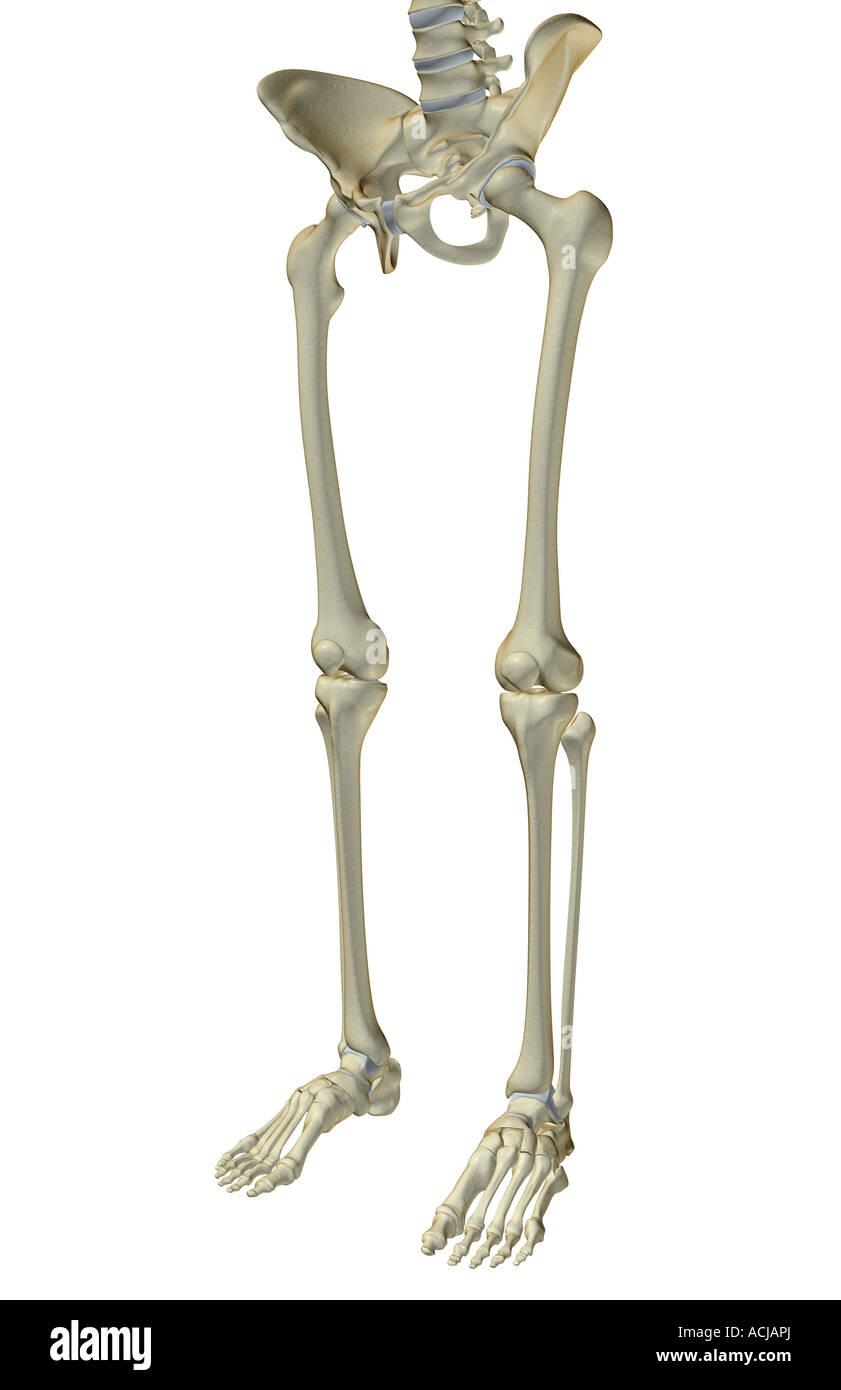Ungewöhnlich Untere Arm Knochen Galerie - Menschliche Anatomie ...