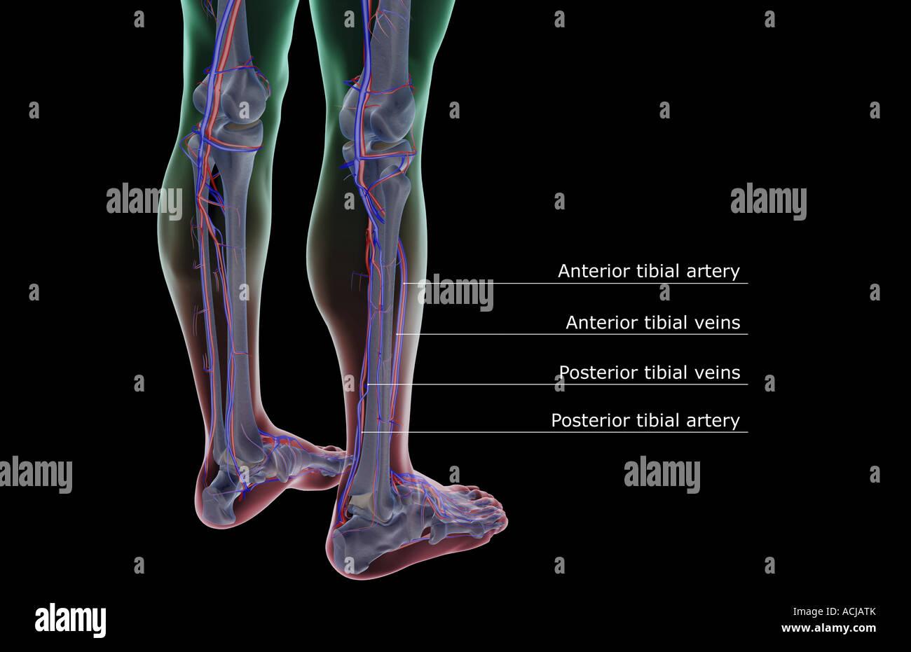 Das Blut-Versorgungsmaterial des Beines Stockfoto, Bild: 13168578 ...