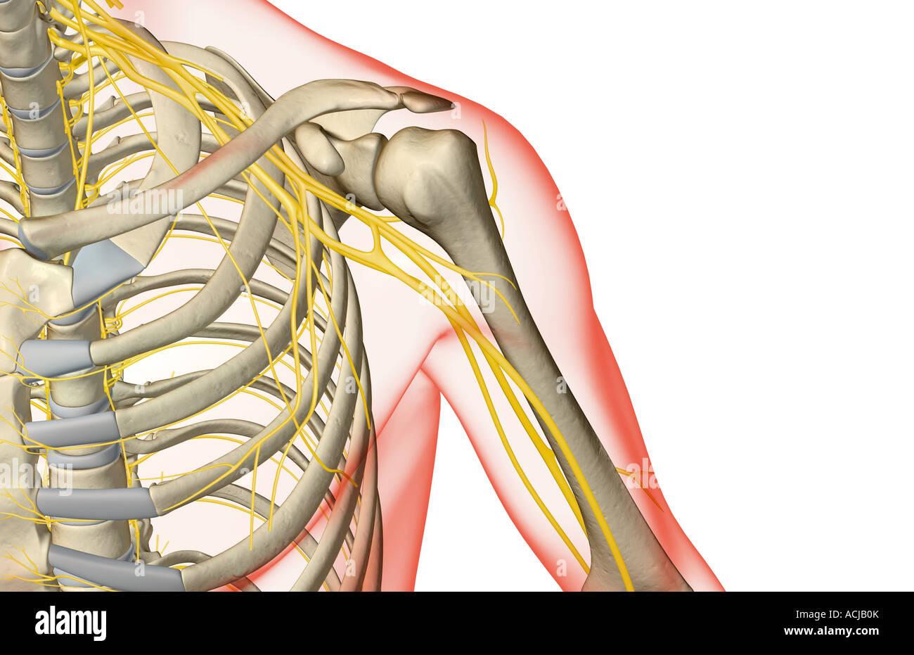 Atemberaubend Linke Schulter Anatomie Fotos - Anatomie Von ...