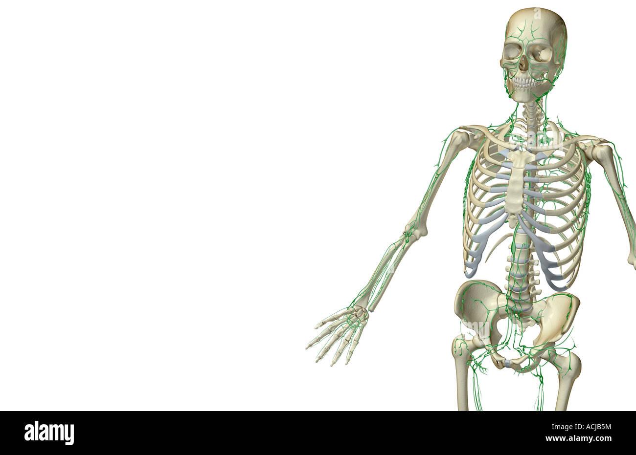 Nett Lymphsystem Leiste Ideen - Menschliche Anatomie Bilder ...