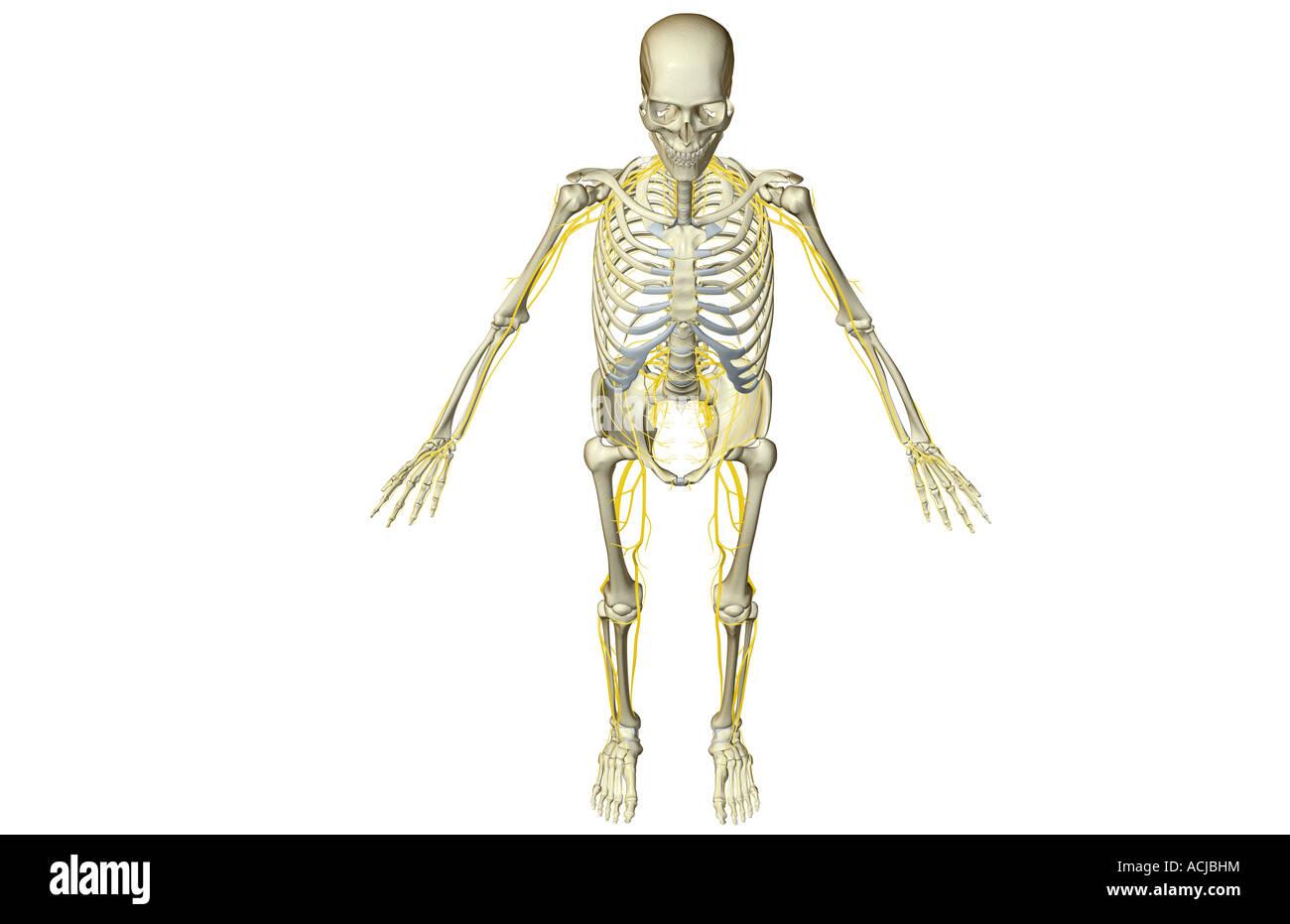 Großartig Weibliche Anatomie Der Fortpflanzungssystem Galerie ...