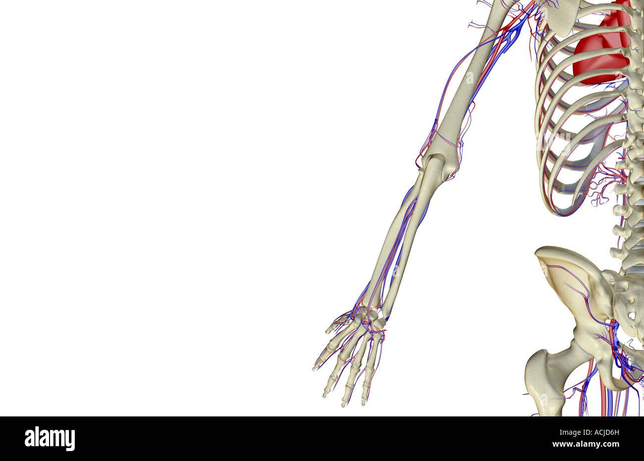 Großartig Obere Extremität Anatomie Bilder Bilder - Physiologie Von ...