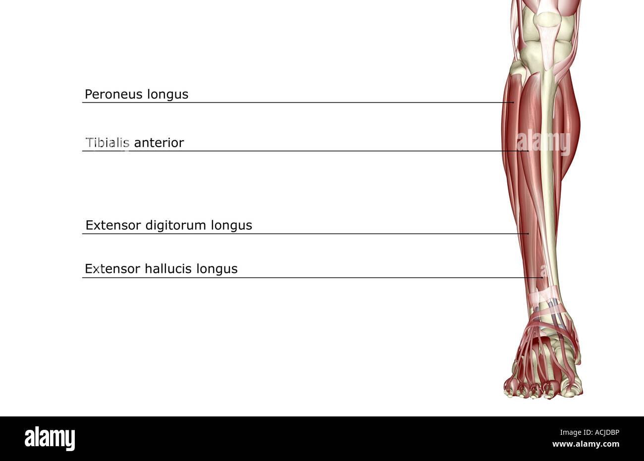 Die Muskeln des Beines Stockfoto, Bild: 13169433 - Alamy