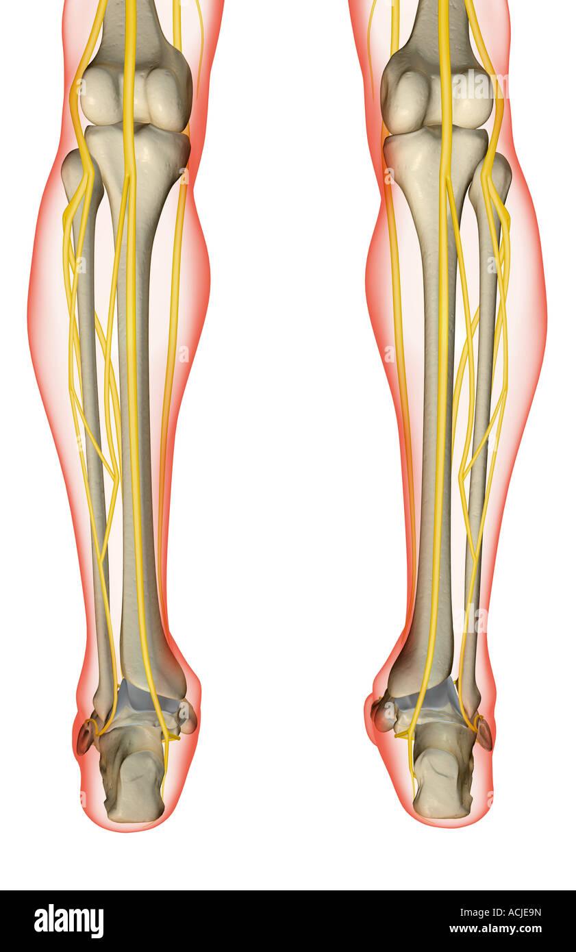 Die Nerven des Beines Stockfoto, Bild: 13169744 - Alamy